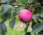 Die Apfelsorte Jamba