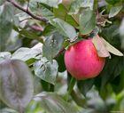 Die Apfelsorte Jamba....