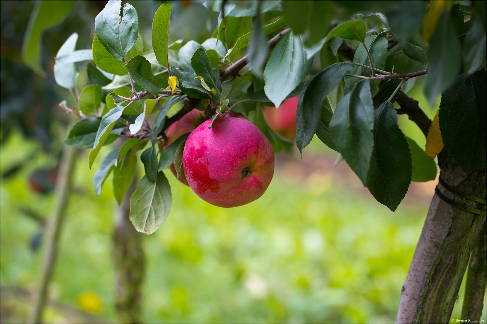 Die Apfelsorte Jamba...