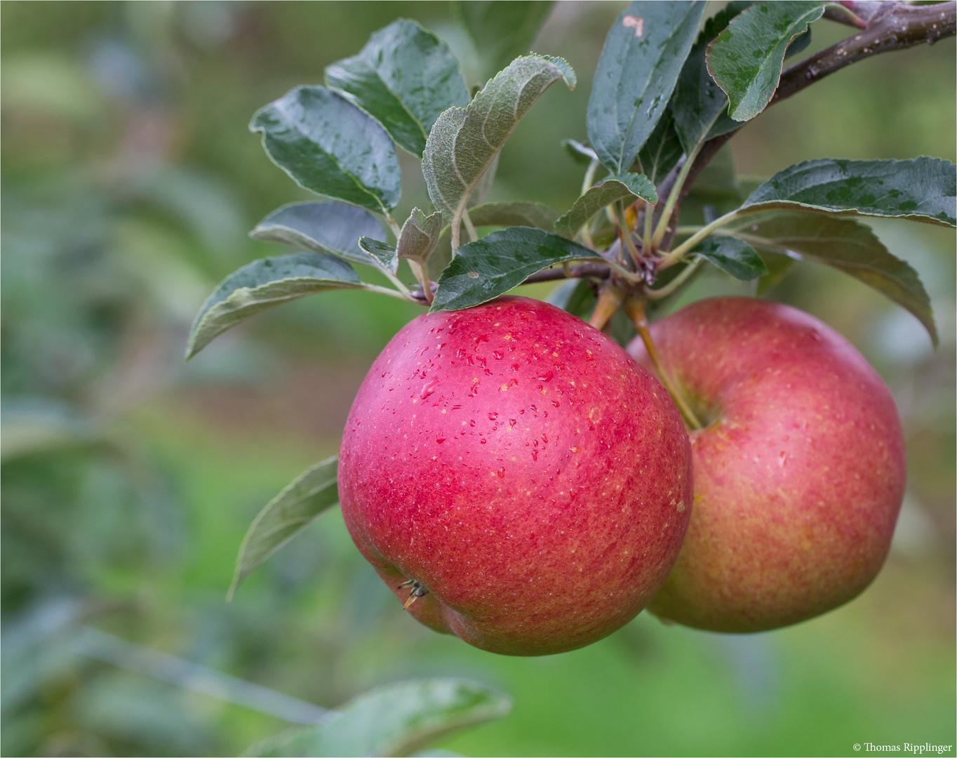 Die Apfelsorte Mairag