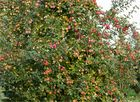Die Apfelsorte Remo