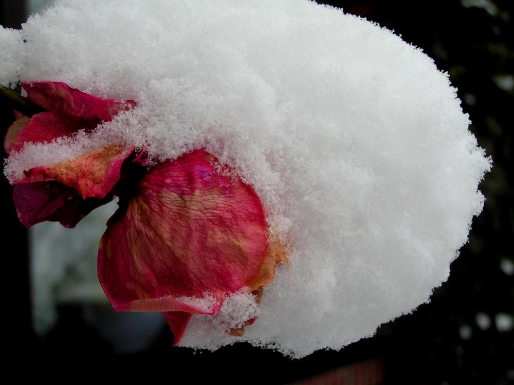***Die arme Rose***