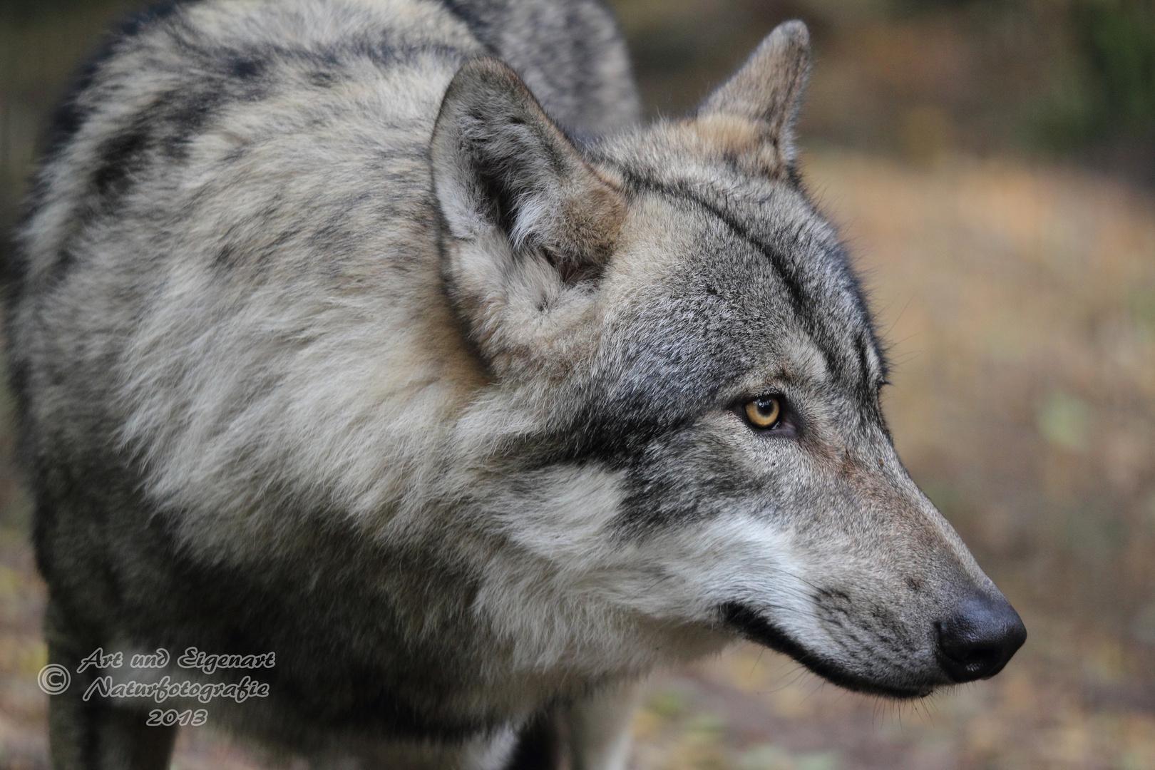 Die Aufmerksamkeit eines Wolfes