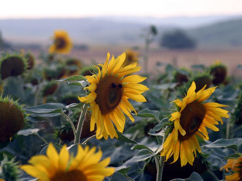 Die Augen der Sonnenblume