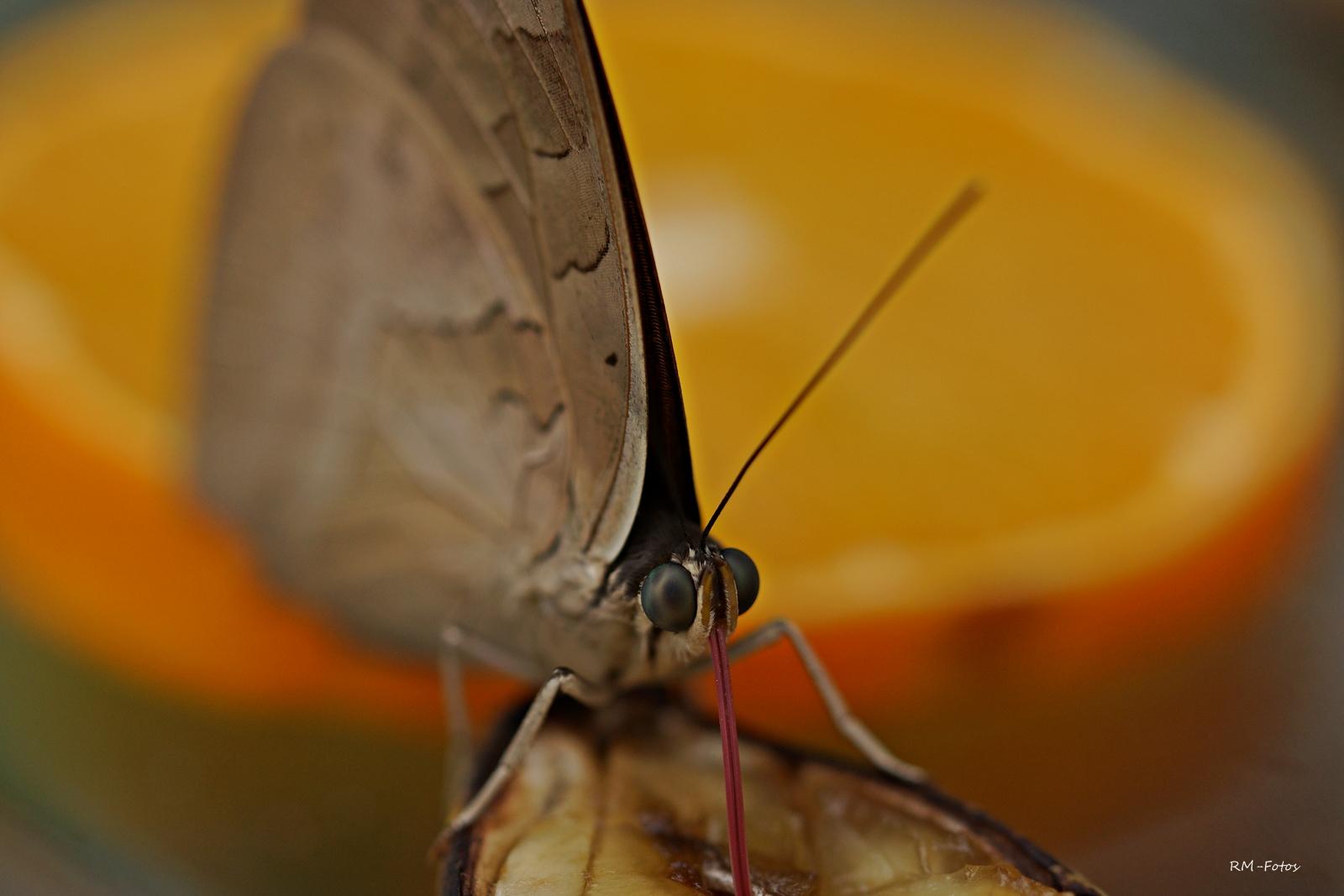 die Augen des Schmetterlings