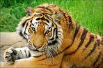 Die Augen des Tigers...