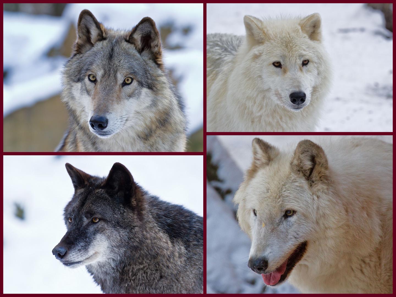 Die Augen eines Wolfes........