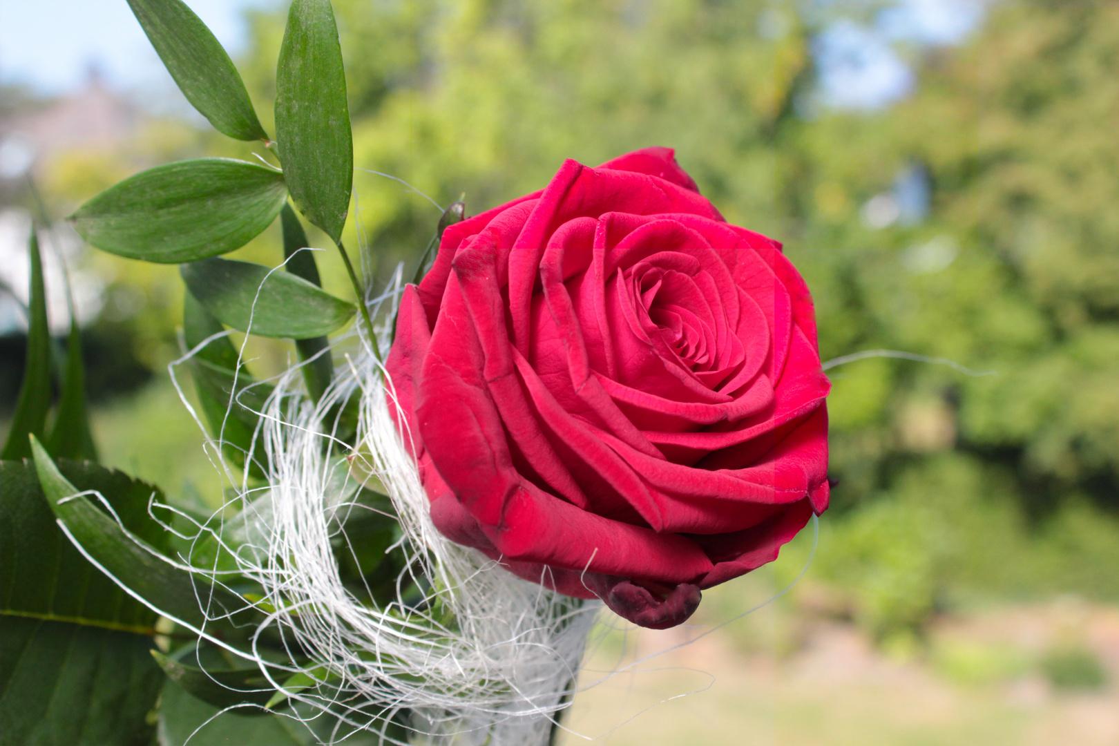 Die Bachelor Rose
