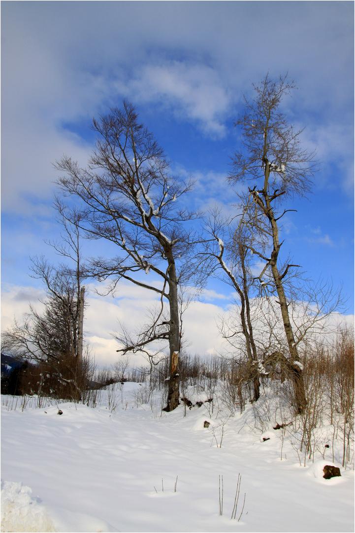 Die Bäume des Allgäus