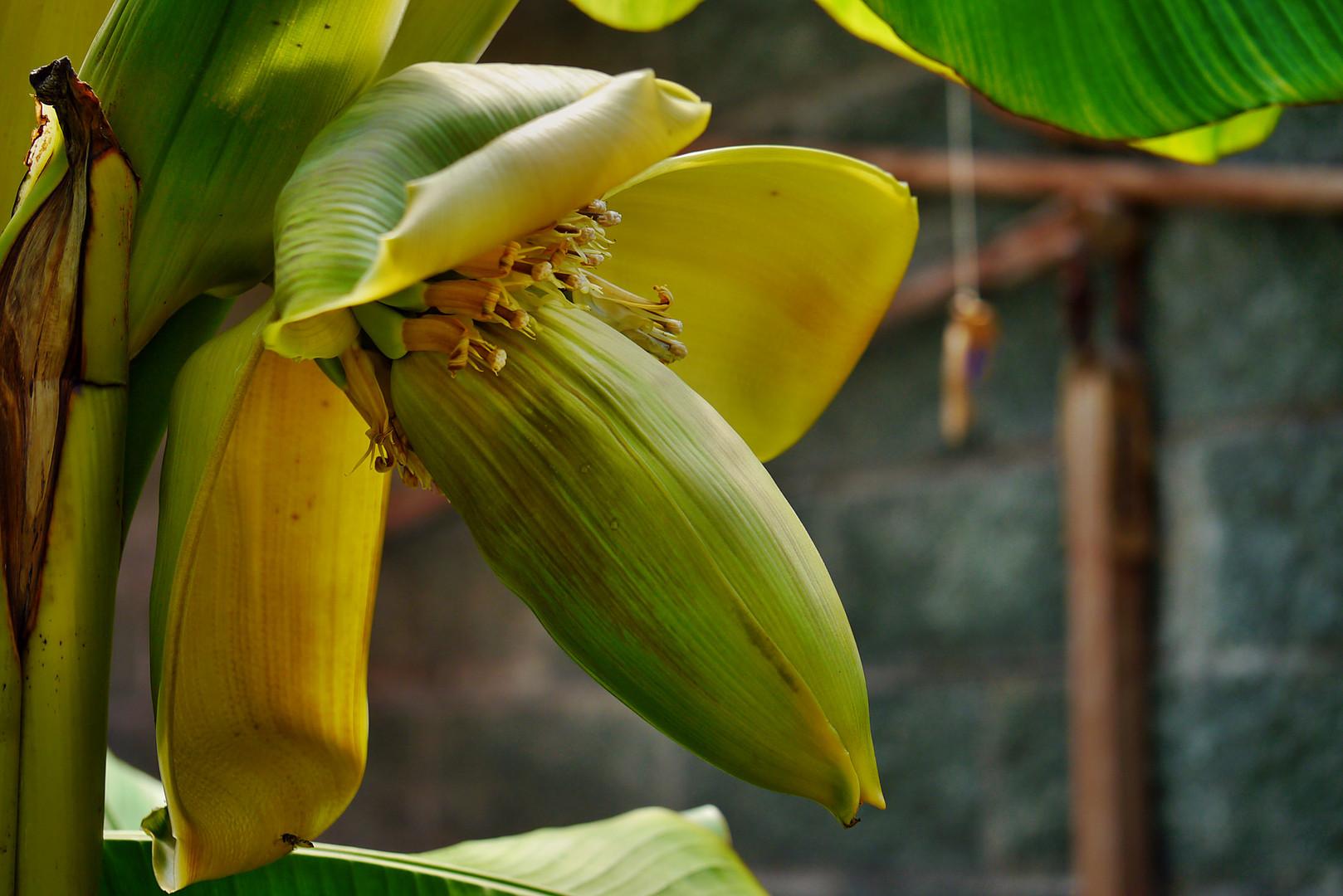 die Bananenblüte trägt schon Früchte