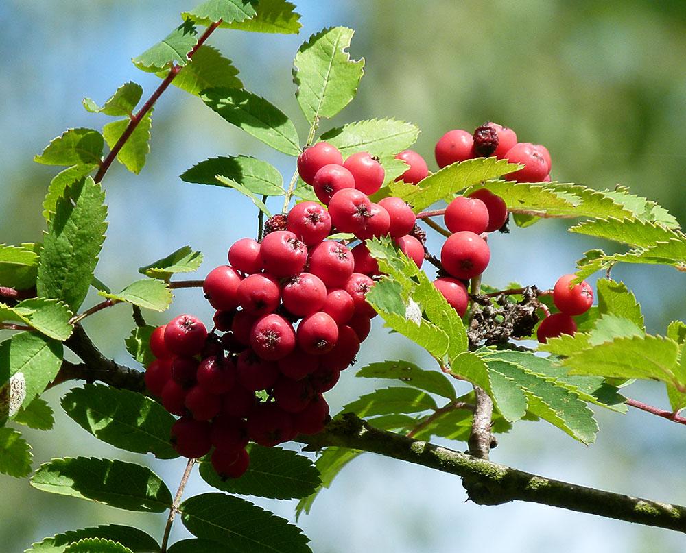 Die Beeren der Eberesche