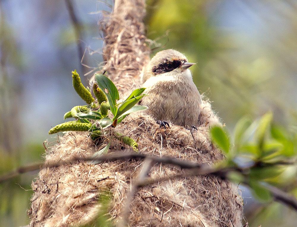 Die Beutelmeise beim Nestbau