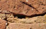 Die Bewacher der Burgen haben jeden Besucher im Blick. Die Ägäische Mauereidechse...