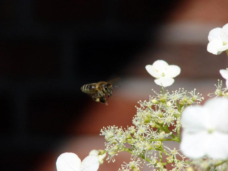 Die Biene 1