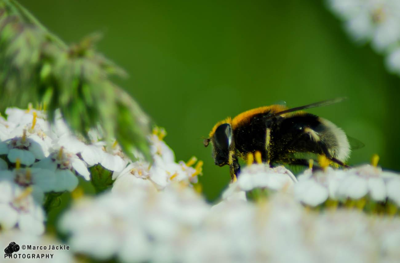 Die Biene auf der Blume