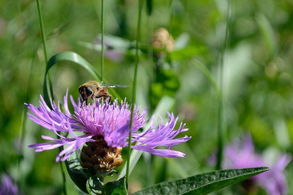 Die Biene aus Oberkrain