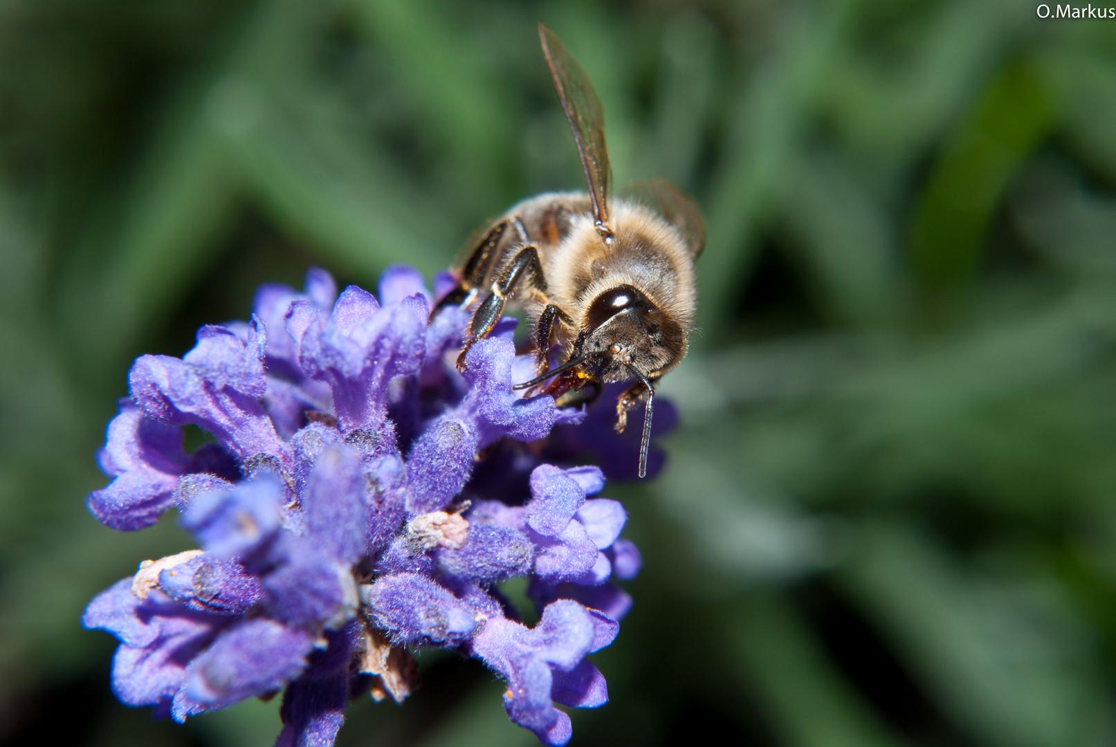 Die Biene im Makro