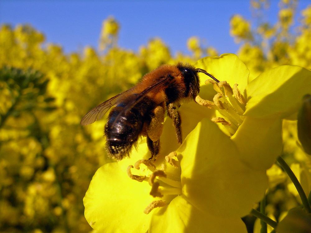 Die Biene im Raps