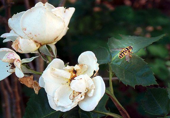 Die Biene Maja im Abflug