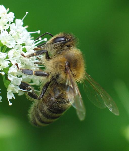 Die Biene und die Blume
