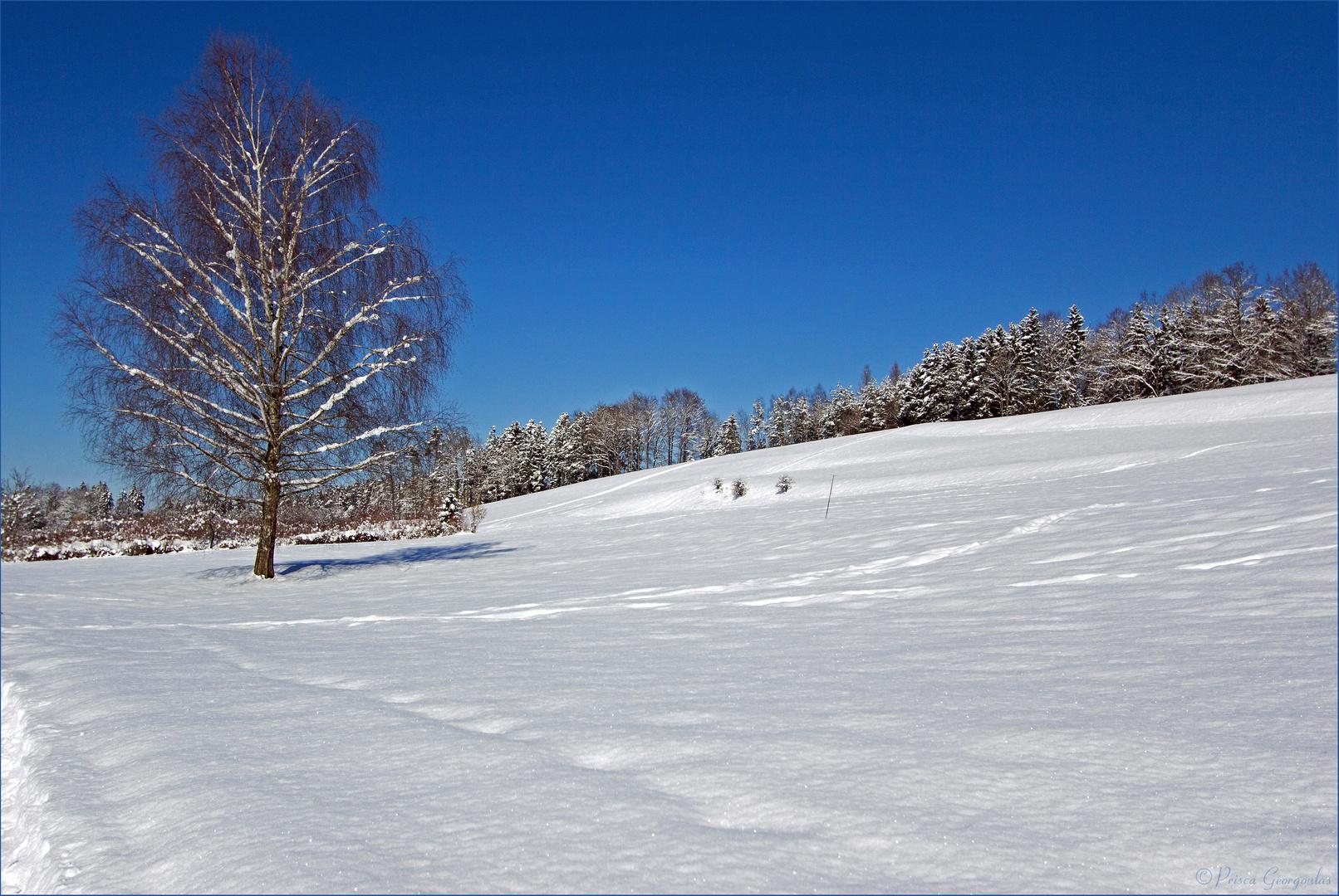 Die Birke im Winterkleid