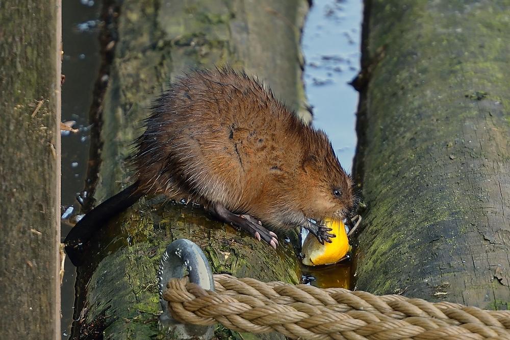 Die Bisam-Ratte beim Festschmaus