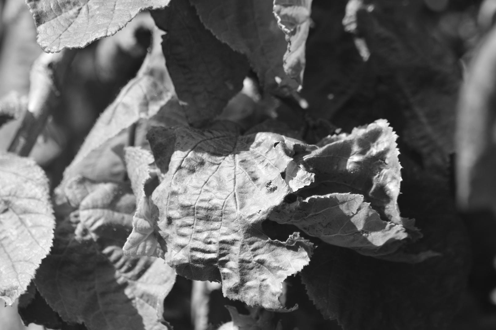 Die Blätter kräuseln sich. Der Herbst naht