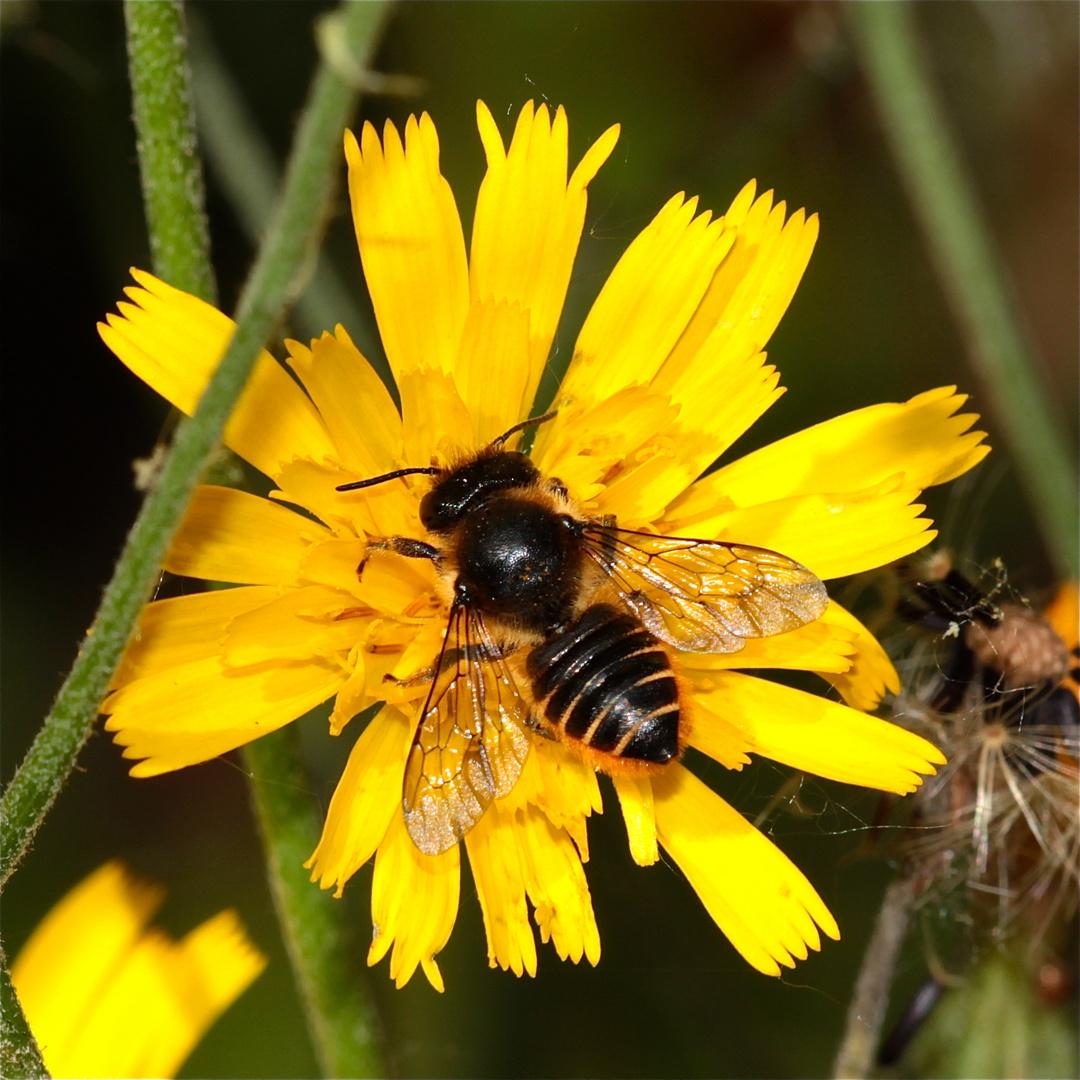 Die Blattschneiderbienen sind wieder da!!! Hier eine Megachile willughbiella . . .