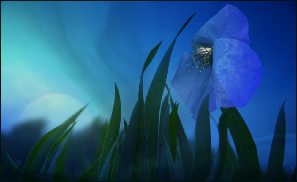 Hintergrundbilder Blaue Blume: Die Blaue Blume... Foto & Bild