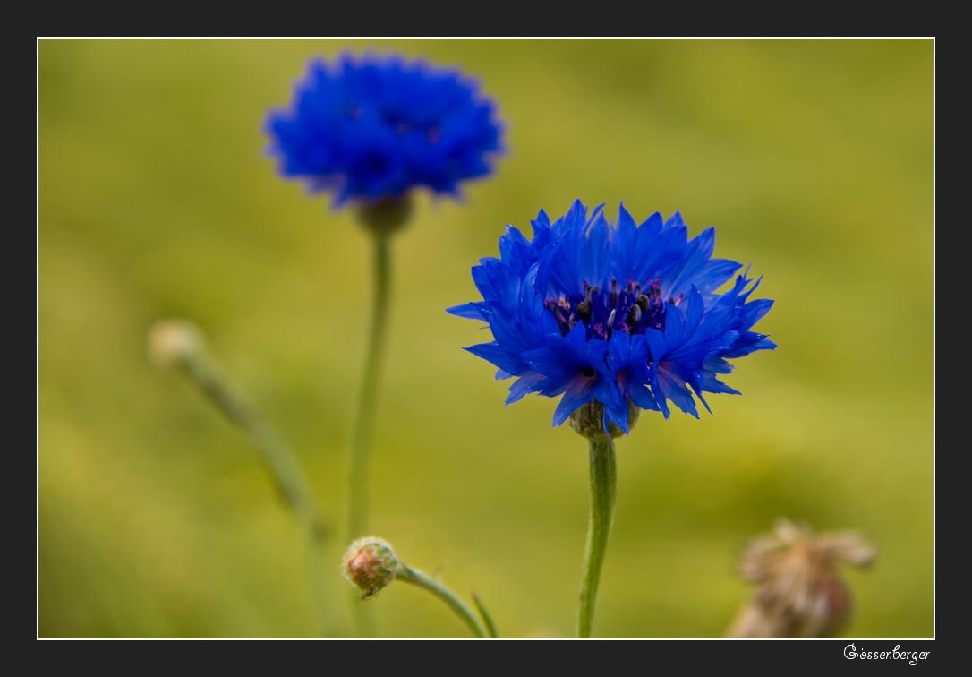 Die blauen vom Feld #1