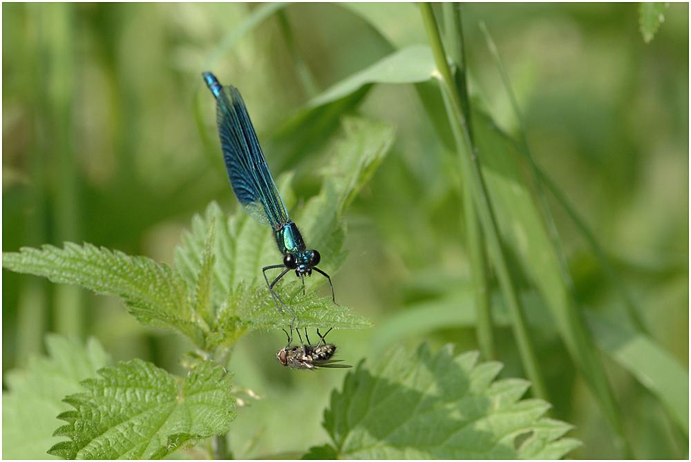 Die Blauflügel-Prachtlibelle (Calopteryx virgo) III ....