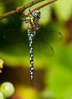Die Blaugrüne Mosaikjungfer (Aeshna cyanea)