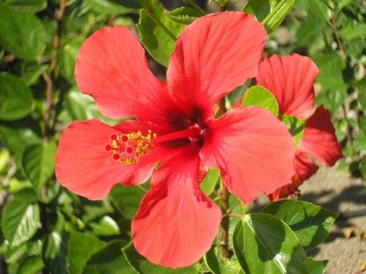 Die Blüte aus Rhodos