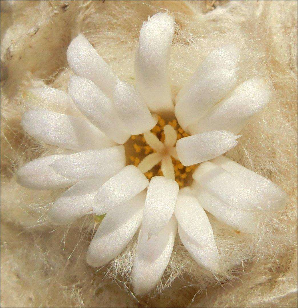 Die Blüte der Lophophora difusa