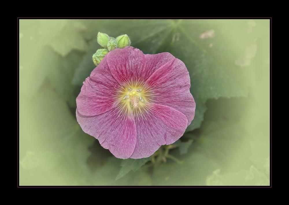 Die Blüte der Stockrose.....