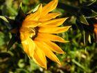 Die Blüte der Topinambur