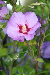 Die Blüte des Hibiskus