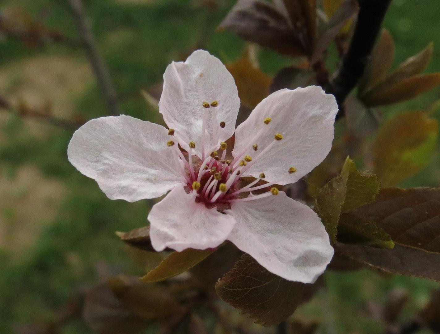 die Blüte einer Blutpflaume