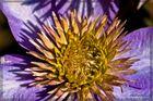 Die Blüte einer Clematis