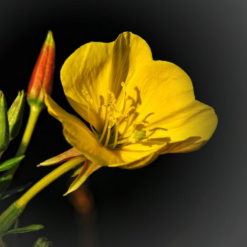 Die Blüte einer Nachtkerze...... (Oenothera)