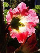 Die Blüte einer Stockrose im Gegenlicht