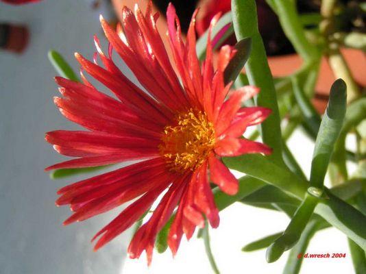 Die Blüte eines Kaktus