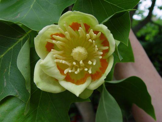Die Blüte eines Tulpenbaums