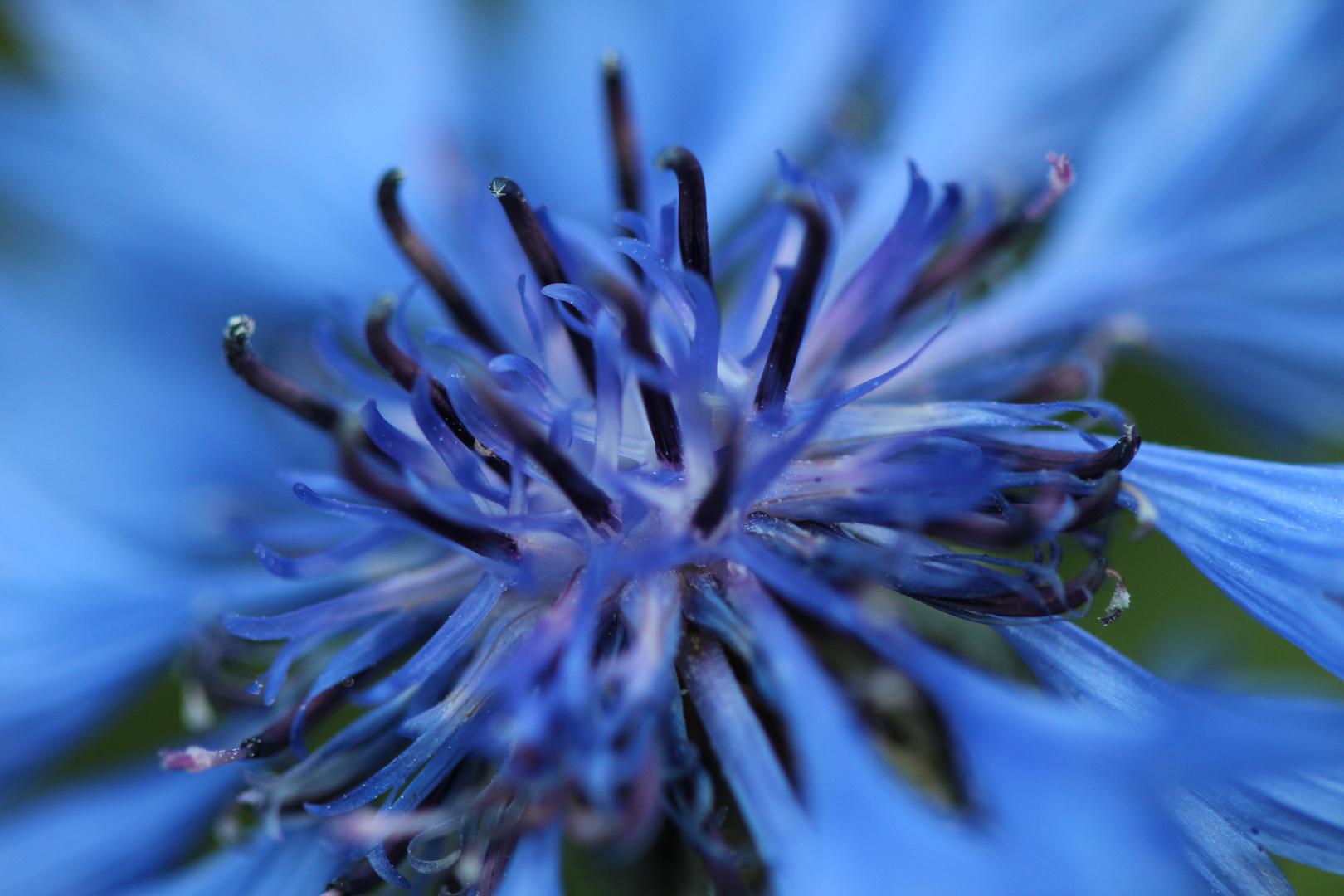 Die Blüten der Kornblume