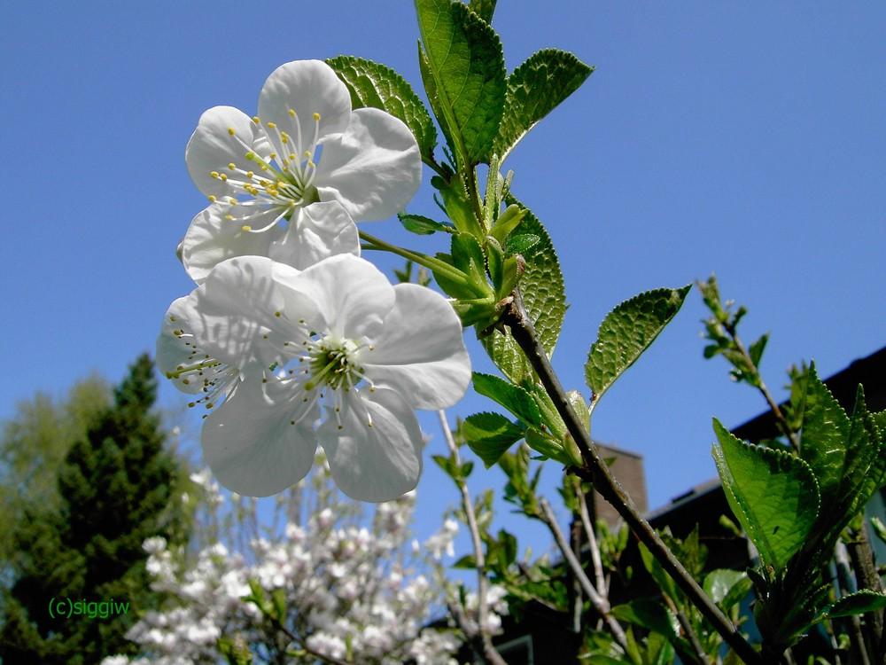 Die Blüten sind fast schon vom Winde verweht