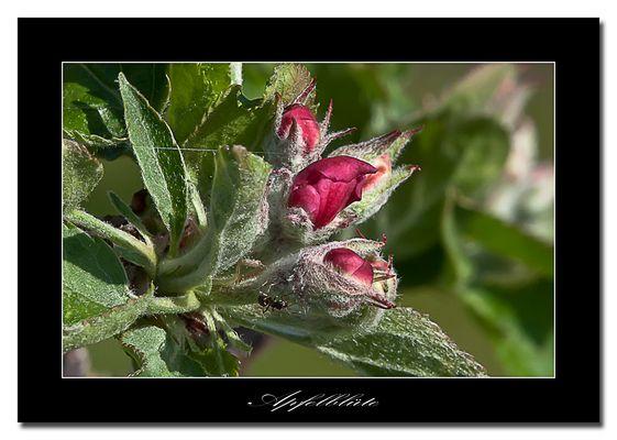 Die Blüten von meinem Lieblingsapfelbaum