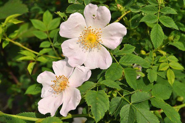 Die Blütezeit der Rosen (4)