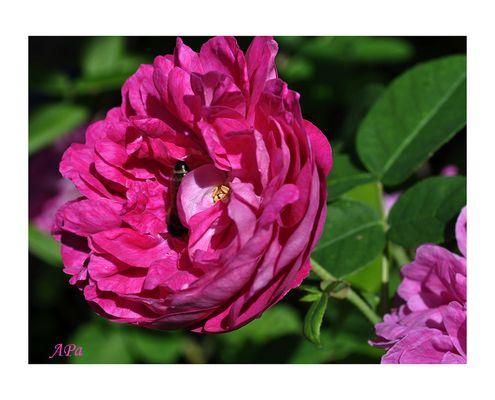 Die Blütezeit der Rosen (5)