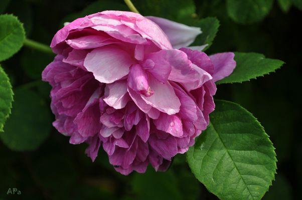 Die Blütezeit der Rosen (6)