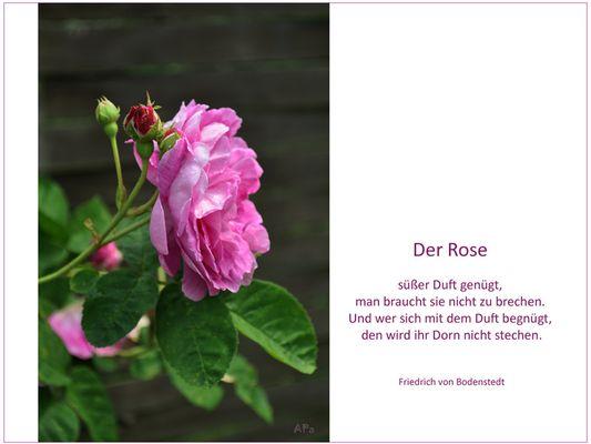 Die Blütezeit der Rosen (7)